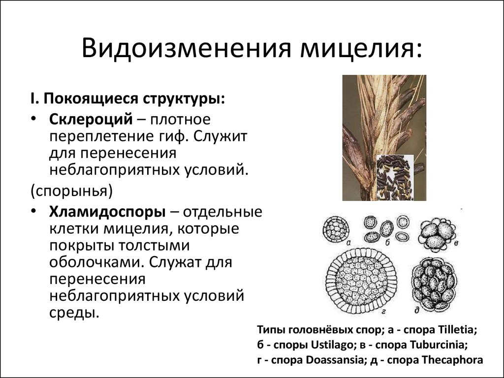 Разновидность мицелия